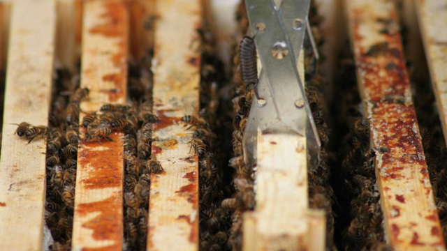 Bee_antibiotics_Urban_Buzz-2