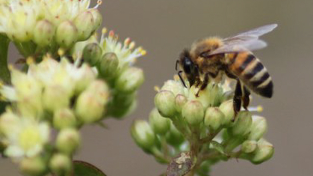 Pollinators such as bees are important to keep the balance of the ecosystem.