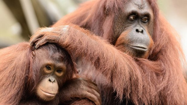 Adult and young Orangutan