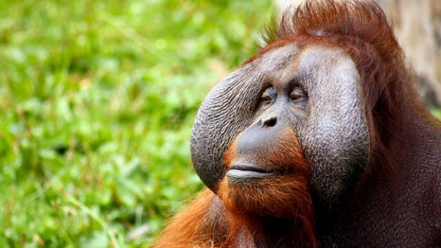 Male flanged Orangutan